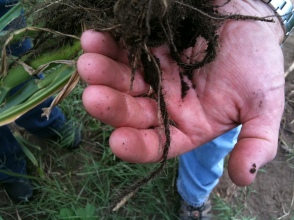 photo_maui roots on young napier grass